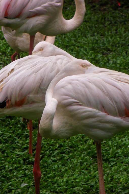 Фламингоу